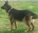German Shepherd Dog Puppy For Sale in ATL, GA, USA