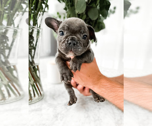 French Bulldog Litter for sale in RIVERSIDE, CA, USA