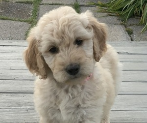 Goldendoodle Litter for sale in FREDONIA, KY, USA