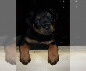 Rottweiler Litter for sale in OKTAHA, OK, USA