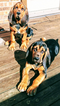 Bloodhound Puppy For Sale in RICHMOND, KY, USA