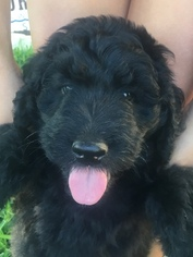 Aussiedoodle Litter for sale in ROUND ROCK, TX, USA