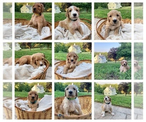 Labradoodle Litter for sale in HAMDEN, CT, USA