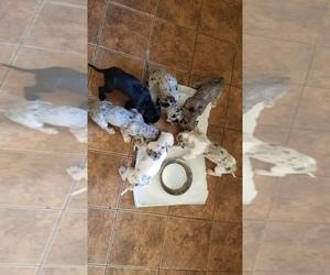 Great Dane Litter for sale in DENTON, MD, USA