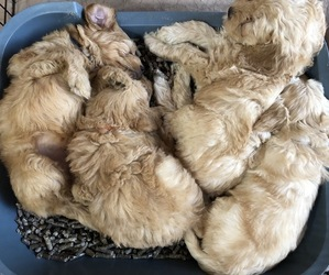 Goldendoodle Litter for sale in LOUISVILLE, KY, USA
