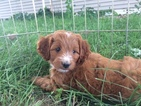 Brittany-Poodle (Miniature) Mix Puppy For Sale in CUBA, IL, USA