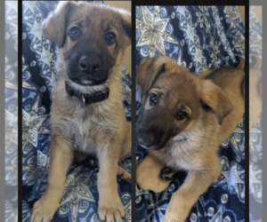 German Shepherd Dog Litter for sale in AVILLA, IN, USA
