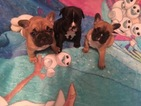French Bulldog Puppy For Sale in LAKEWOOD, CA, USA