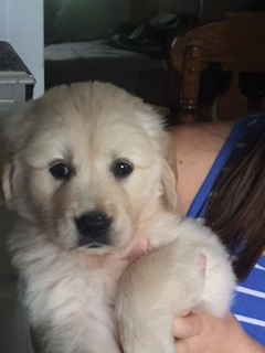 Medium Photo #1 Golden Retriever Puppy For Sale in WAKARUSA, IN, USA