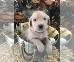 Labradoodle Puppy For Sale in DUNCAN, AZ, USA