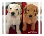 Goldendoodle Puppy For Sale in WILSONVILLE, AL, USA