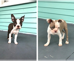 Boston Terrier Puppy For Sale in SALISBURY, MD, USA