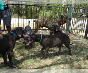 Cane Corso Litter for sale in SAN ANTONIO, TX, USA