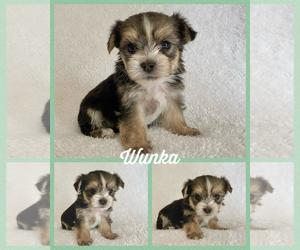 Morkie Litter for sale in BONNIEVILLE, KY, USA