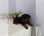Small Photo #1 Rottweiler Puppy For Sale in SHIPSHEWANA, IN, USA