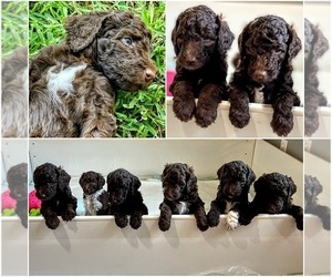 Poodle (Standard) Litter for sale in COPANO VILLAGE, TX, USA