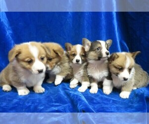 Pembroke Welsh Corgi Litter for sale in NORWOOD, MO, USA