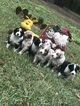 Australian Shepherd Puppy For Sale in WELLBORN, FL, USA