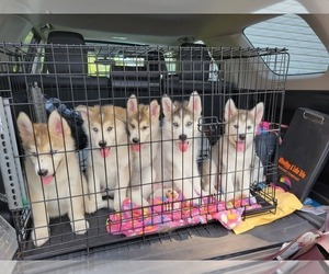 Alusky Litter for sale in JEWETT, OH, USA