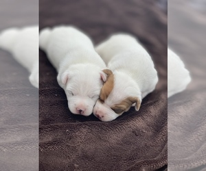 Jack Russell Terrier Litter for sale in KINGSVILLE, MO, USA