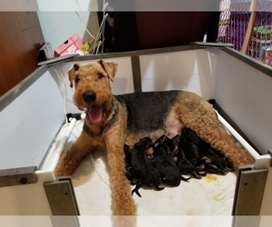 Airedale Terrier Litter for sale in SAGLE, ID, USA