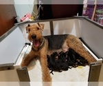 Small Airedale Terrier