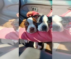 Boston Terrier Litter for sale in PICO RIVERA, CA, USA