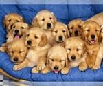 Golden Retriever Puppy For Sale in ALLIANCE, NE, USA