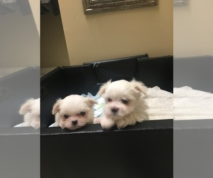 Maltese Litter for sale in MARIETTA, GA, USA