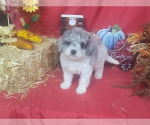 Bernedoodle-Poodle (Toy) Mix Litter for sale in BLACK FOREST, CO, USA