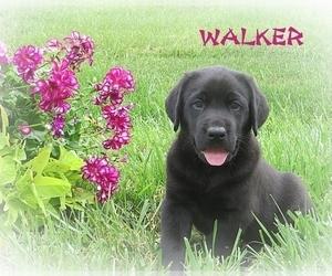 Labrador Retriever Litter for sale in ELVERSON, PA, USA
