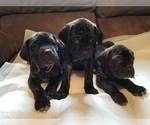 Mastiff Puppy For Sale in FULTON, NY, USA