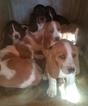 Basset Hound Puppy For Sale in NEW CANTON, VA, USA