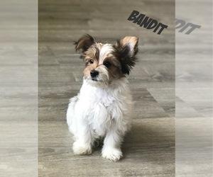 Yorkshire Terrier Litter for sale in ALPINE, UT, USA