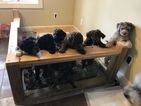 Aussiedoodle-Poodle (Standard) Mix Puppy For Sale in ENTERPRISE, AL, USA