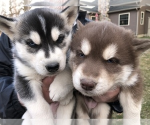 Siberian Husky Litter for sale in SILVERWOOD, MI, USA