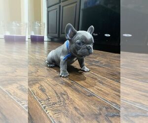 French Bulldog Litter for sale in BAYTOWN, TX, USA