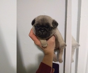 Pug Litter for sale in FRANKTON, IN, USA