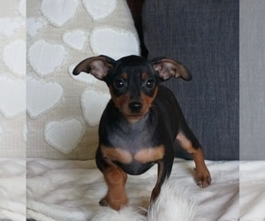 Medium Miniature Pinscher