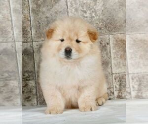 Chow Chow Litter for sale in NAPPANEE, IN, USA