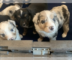Miniature Australian Shepherd Litter for sale in BETHANY, IL, USA