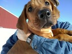 Rhodesian Ridgeback Puppy For Sale in GREENLEAF, ID, USA