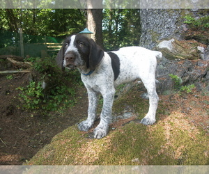German Wirehaired Pointer Litter for sale in PACIFIC BEACH, WA, USA