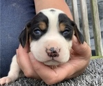Small Coonhound