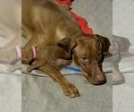 Vizsla Puppy For Sale in NEW YORK MILLS, MN, USA