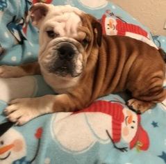 English Bulldogge Litter for sale in TAMPA, FL, USA