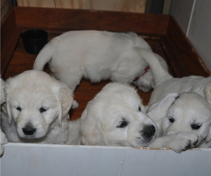 English Cream Golden Retriever Litter for sale in ALVA, OK, USA