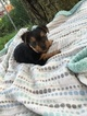 Yorkshire Terrier Puppy For Sale in BELLEVILLE, PA, USA