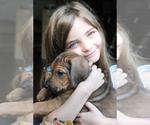 Rhodesian Ridgeback Puppy For Sale in BELLEVILLE, IL, USA