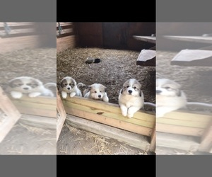 Great Pyrenees Litter for sale in ZEBULON, NC, USA